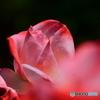 薔薇の三連星・・・みつ星