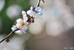 大師公園の梅