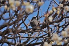 梅の中のヒヨドリ