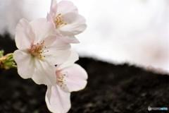 春の、「ソノリティ」