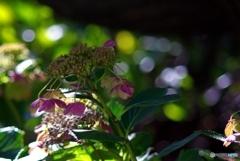 あきの紫陽花