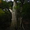 丹沢大山にて 絆の木