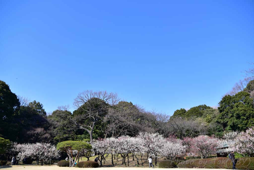 新宿御苑は梅満開