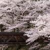 七谷川の桜2