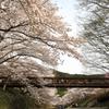 七谷川の桜4