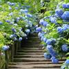 明月院(紫陽花)