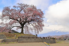 わに塚の一本桜(蔵出)