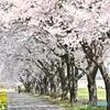 桜咲く小径