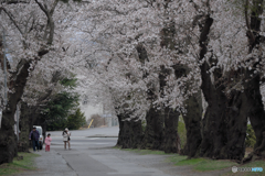 中学校の桜並木