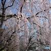 桜雨(sakurame)