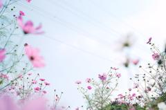 コスモスの咲く頃...