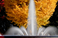 吹き上がる黄葉