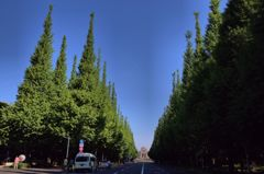 新緑の銀杏並木
