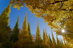 煌めきの銀杏並木