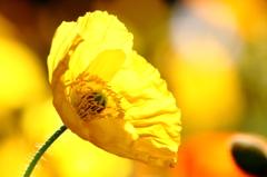 黄色い誘惑