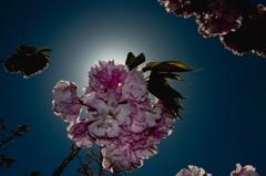 金環桜花食