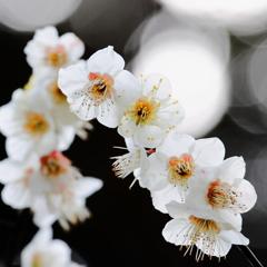 香賀の白梅