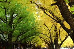 黄葉のグラデーション