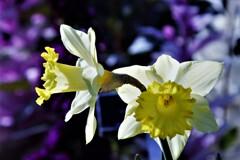 Unrequited love...Daffodil