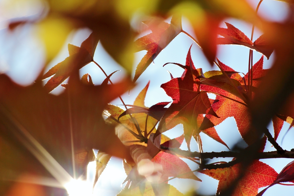 Autumn In Maple