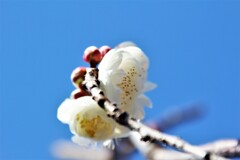 Early Blooming White Plum Ⅰ