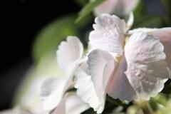 Pure white hydrangea
