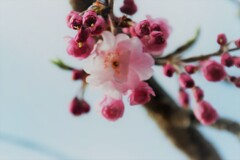 """""""Cherry blossoms bloom"""""""