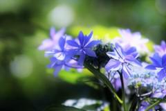 あづさい ⇔ 紫陽花