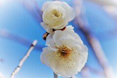 Early Blooming White Plum Ⅱ