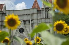 初夏のひまわりと教会