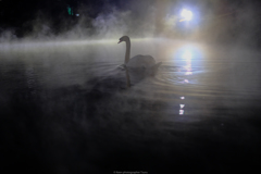 光の中の白鳥