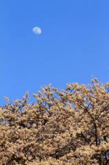 桜浪漫・お月さま