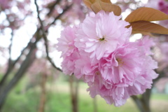 想いでの八重桜