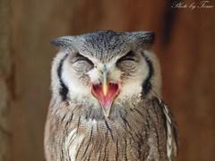 さっぽろフクロウとキタキツネの森 2011