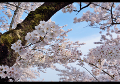 羽村堰ノ桜 5