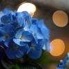 紫陽花 07