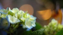 紫陽花 06