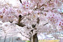 春の彩り 06