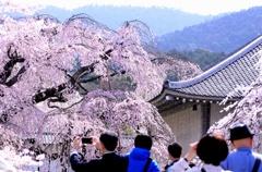 舞い散る桜を