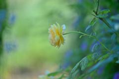 秋薔薇の憂い