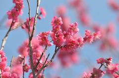 梅林小学校 梅の花