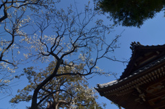 杉田 妙法寺の梅