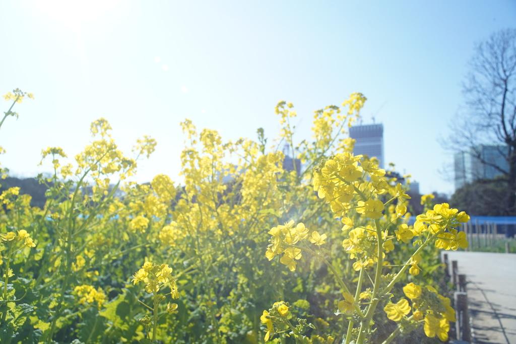 都内の菜の花4