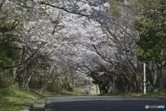ある桜の風景
