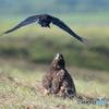 堤防のオジロ幼鳥