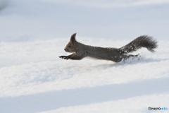 雪の上を走るリス