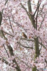 桜にアカハラ