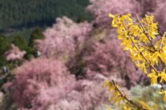 黄色とピンク