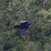 Jungle Crow