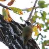 Japanese Green Woodpecker